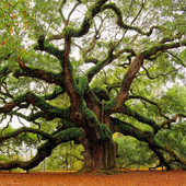 Historic Angel Oak Tree