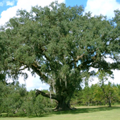 Historic Cellon Oak Tree