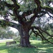 Historic Duelling Oak Tree
