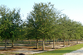 Selecting mature live oak trees