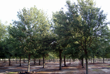 Live Oak Tree FAQs
