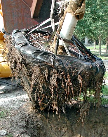 Live Oak Tree Quality Root Systems