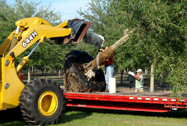 Loading Live Oak Trees for Transport